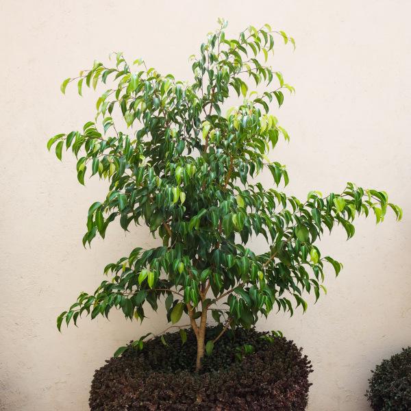 Ficus Plant Large