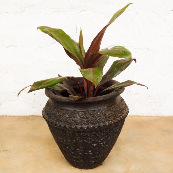 Dracaena Plant Large