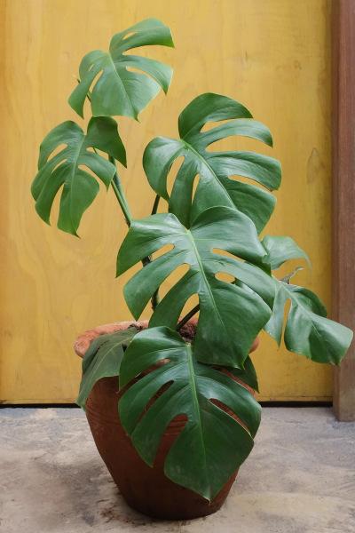 Monstera Deliciosa Plant Large
