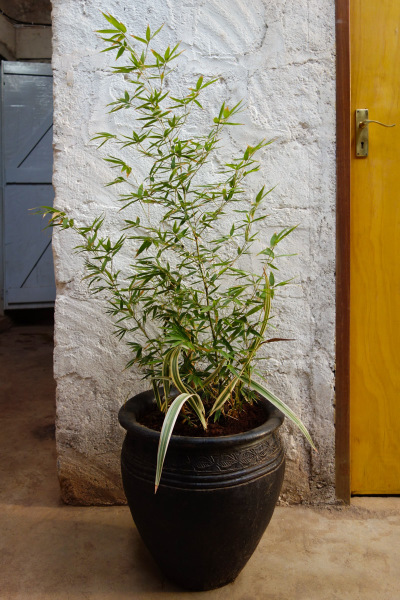Bamboo Extra Large Plant