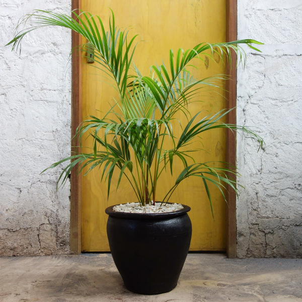 Golden Palm Extra Large Plant