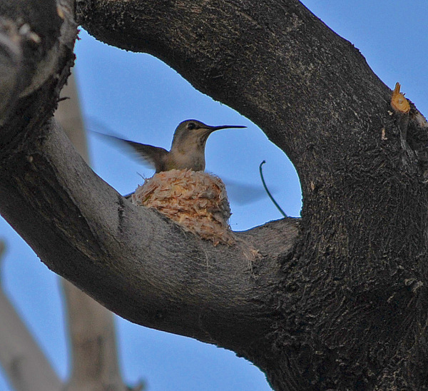 """Helen Hummingbird"" built a nest in our tree"