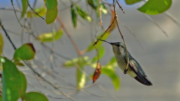 Hummingbird in our backyard