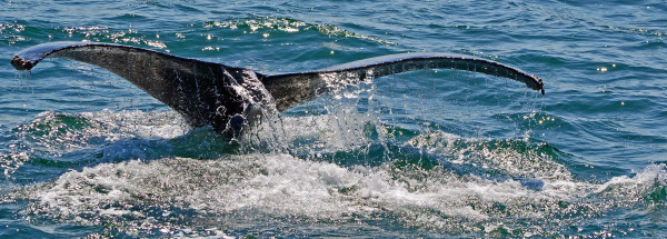 Humpback's tail in Monterey Bay