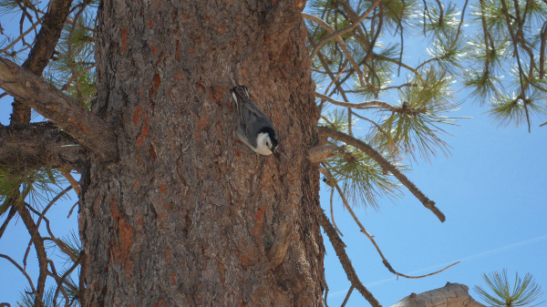 Birdie on a pine trunk at Bryce Canyon