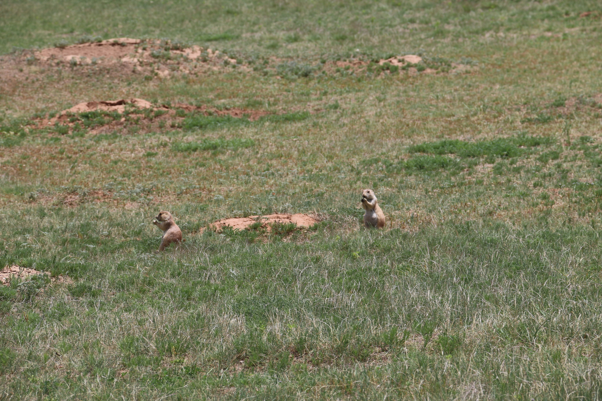 Prairie Dog Village