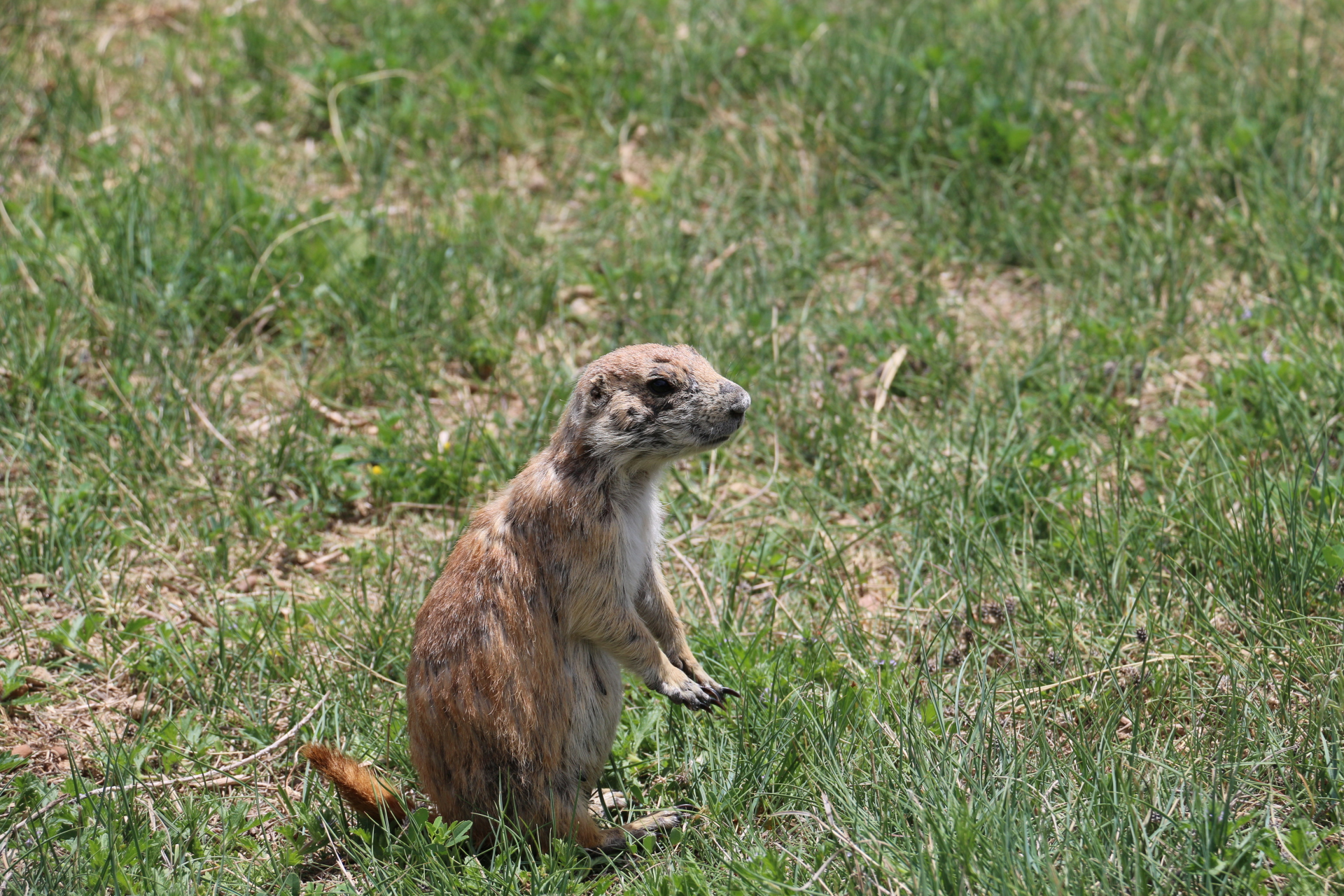 Pioneering Prairie Dogs