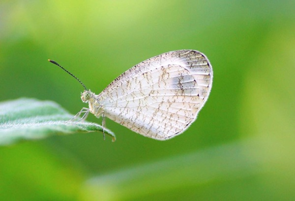 Psyche Butterfly