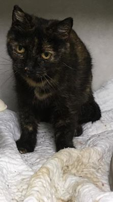 Bonnie 1 1/2 year old spayed female tortie