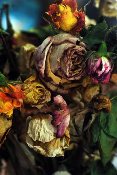 Régi rózsá