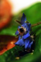 ehető virágok
