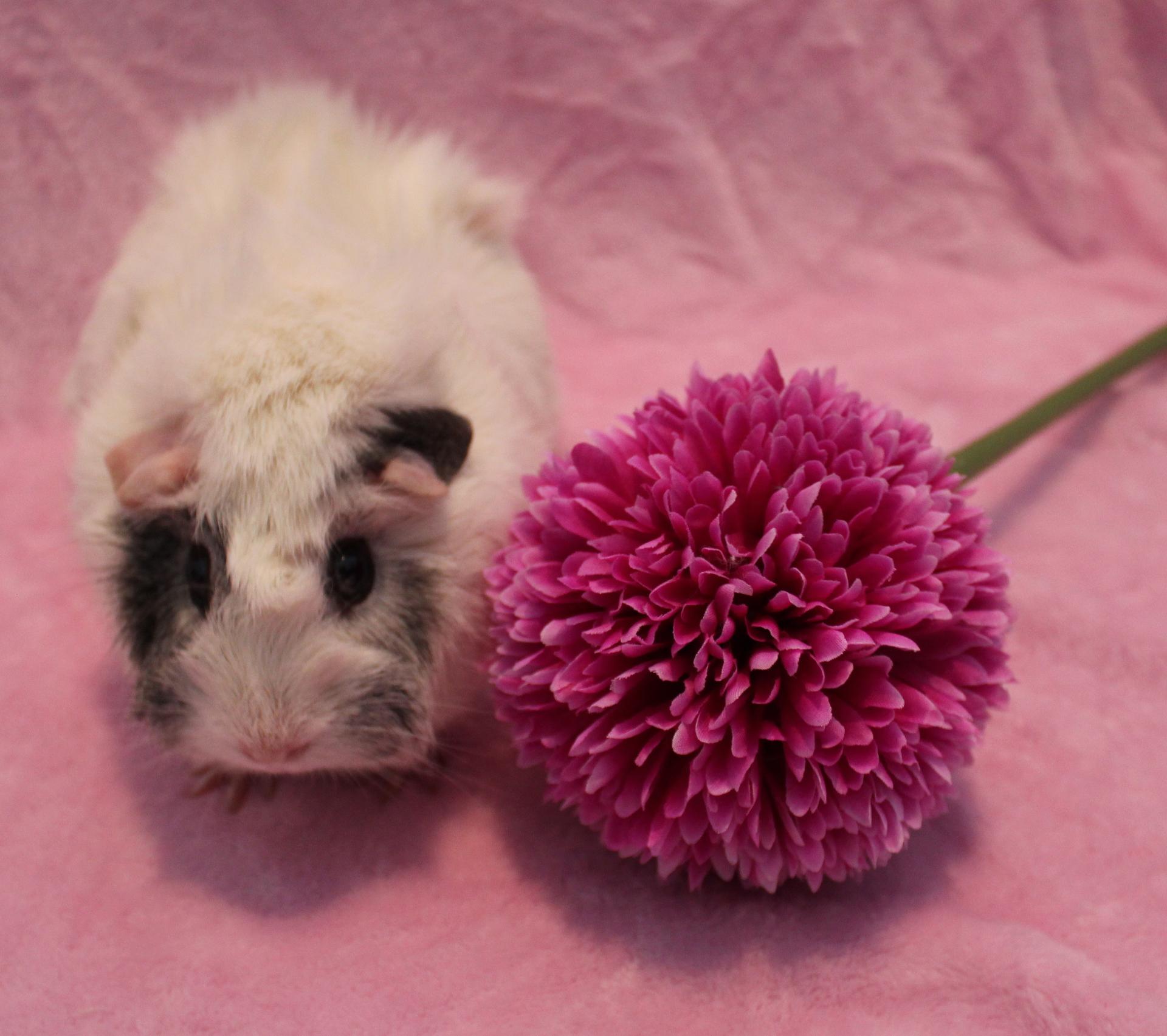 guinea pig rescue canada