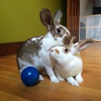 pogo and pepper, rescue rabbits, adopt,Toronto, Toronto Rabbit Rescue