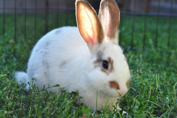 Eva (Toronto Rabbit Rescue)