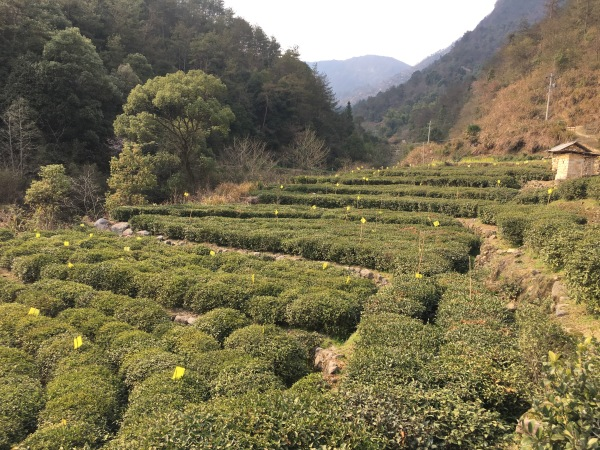 Tea plantation in the mountain