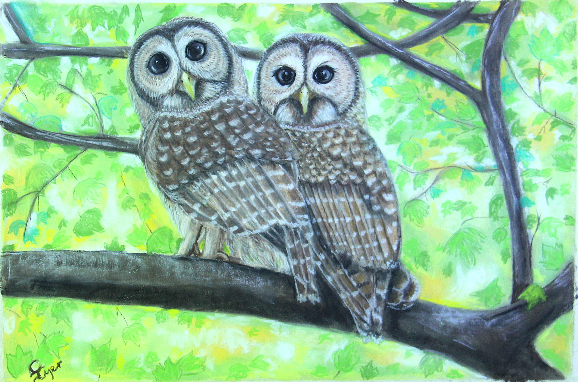 Visiting Barred Owls