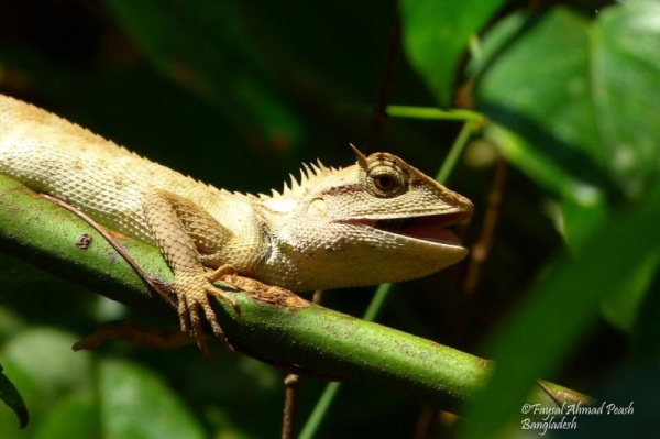 "Emma Gray's forest lizard ""Calotes emma"""