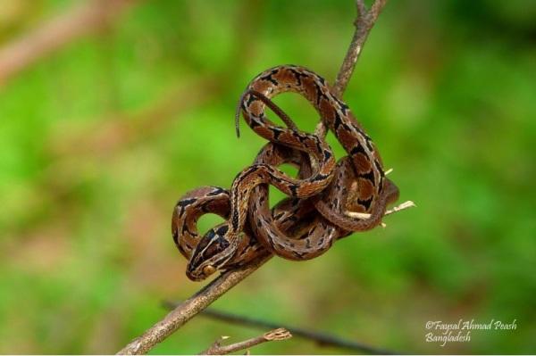 """Eastern Cat Snake """"Boiga gokool"""""""