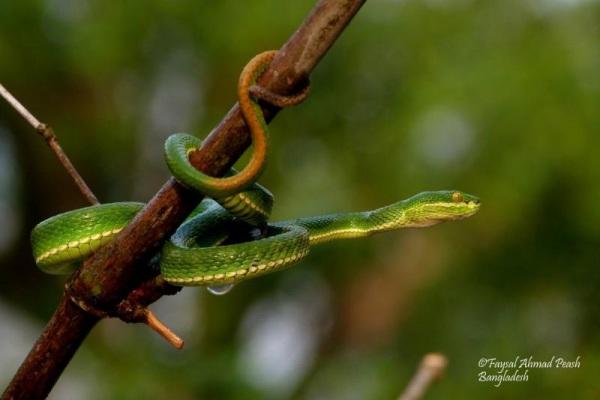 "Spot tailed pit viper ""Trimeresurus erythrurus"""