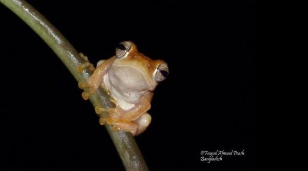 "Annandale's pigmy tree frog ""Chiromantis simus"""