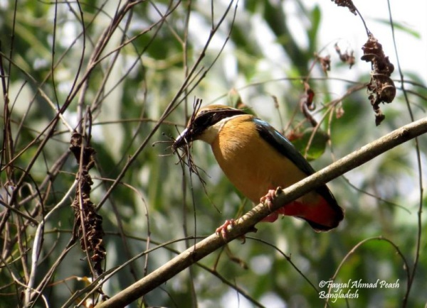 "Indian Pitta ""Pitta brachyura"""
