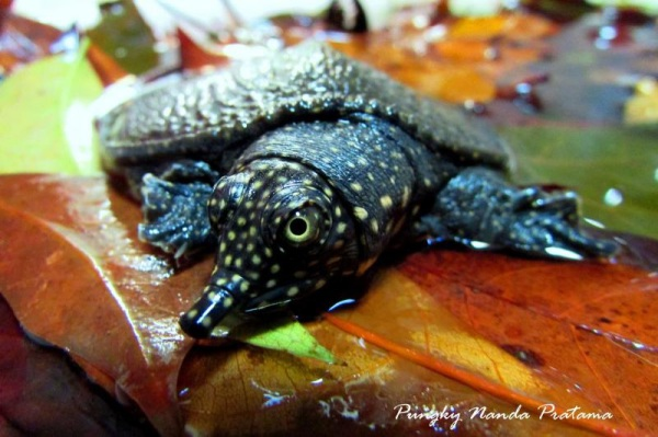 Black-rayed Softshell Turtle (Amyda cartilaginea)