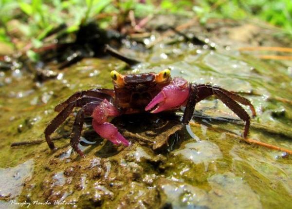 Geosesarma -Fresh Water Terrestrial Land Crabs