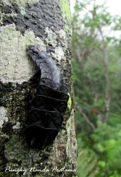 Giant Firefly Larva (Lamprigera spp.)