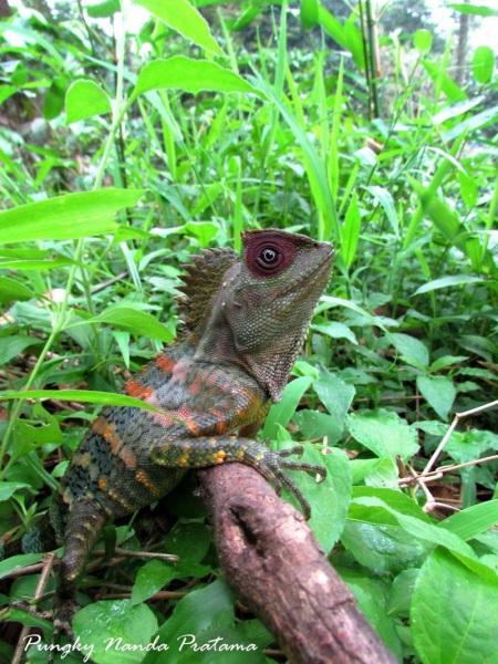 Javan Humphead Lizard (Gonocephalus chamaeleontinus)