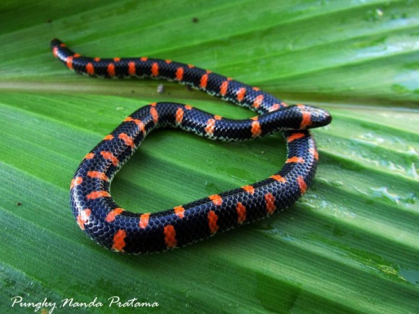 Red Tail Pipe Snake (Cylindrophis ruffus)