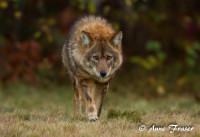 CoyWolf Coyote Wolf
