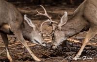 Deer Buck Rut