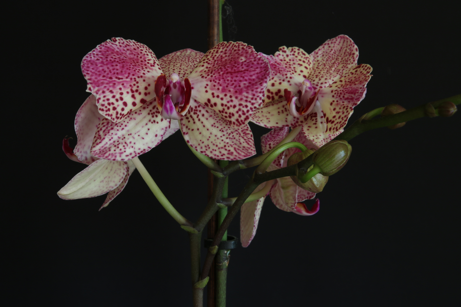 Orchid 2.