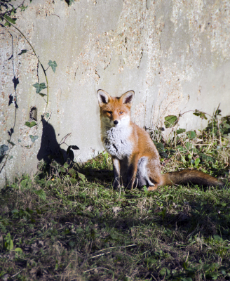 Fox In The Garden.
