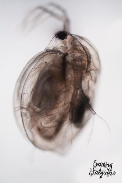 daphnia, water flea, microscopy, microscopic, microscope