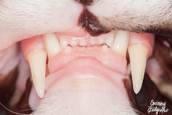sorpreso, cat, teeth, mouth