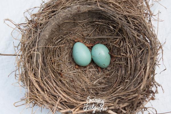 robin nest, robin eggs, bird, bird eggs, blue eggs, blue bird eggs, nest, bird nest, ohio