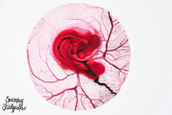 96-hour chick embryo, microscope, ward's science