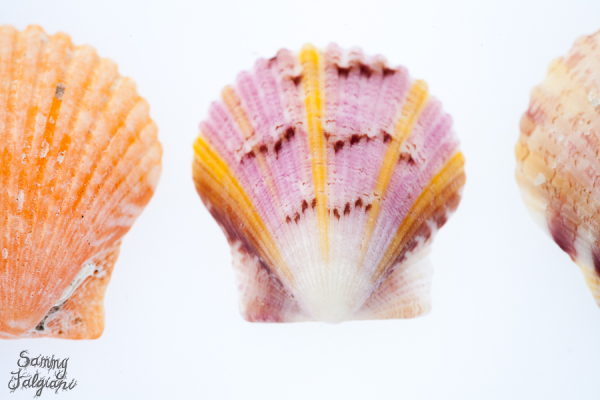 Captiva sea shells