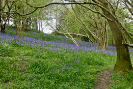Bluebells on Cam Peak and Long Down, North Somerset