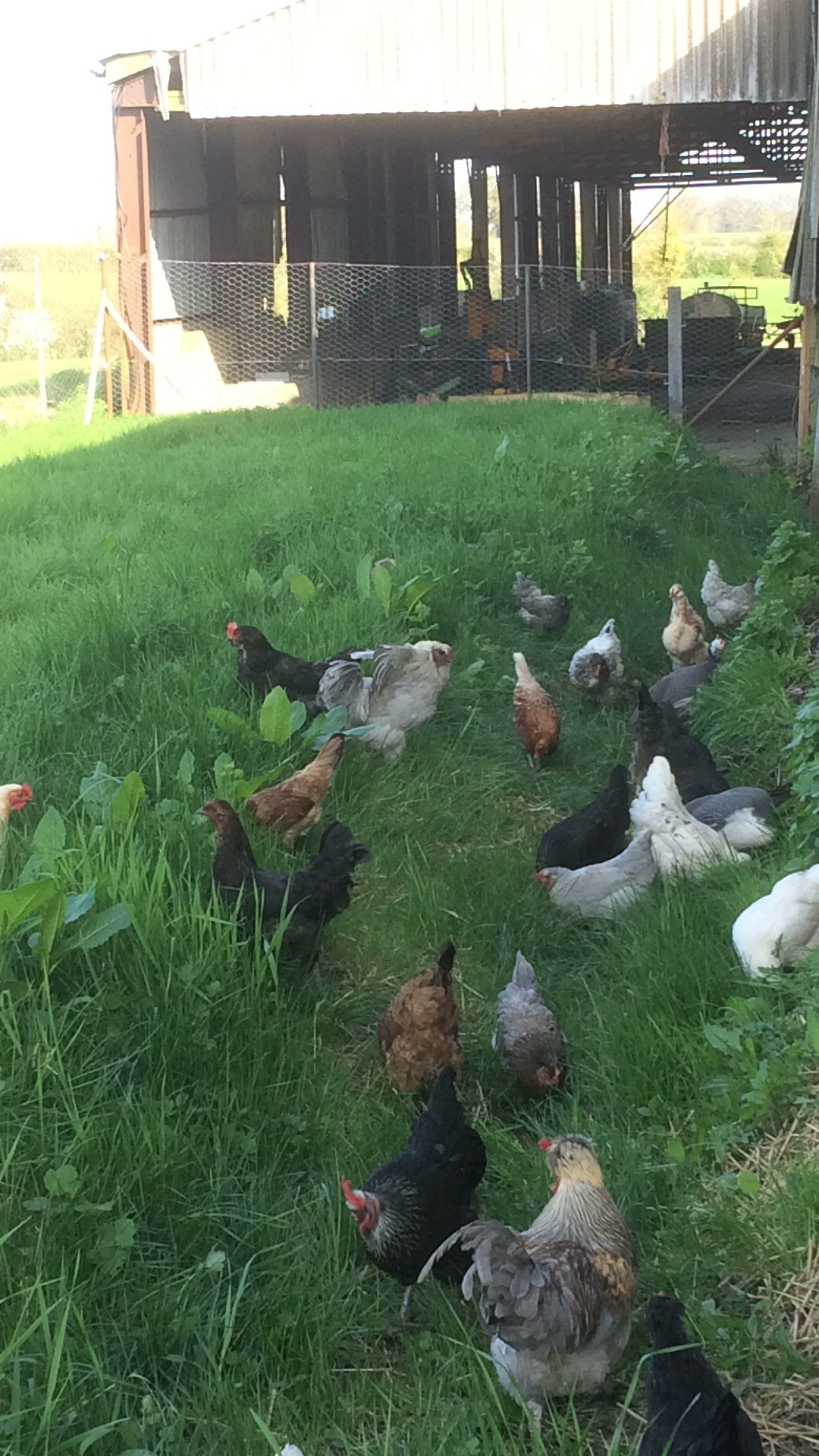 Rendham Chickens
