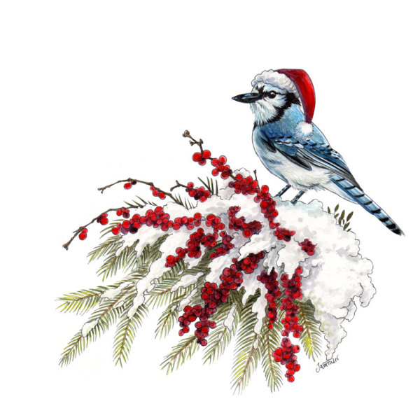 Winter Blue Jay at Christmas by Jason Fowler