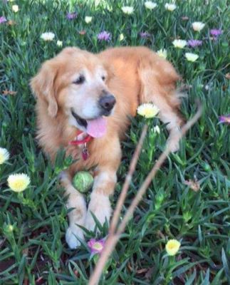 Buster - 8 yrs, male, Golden