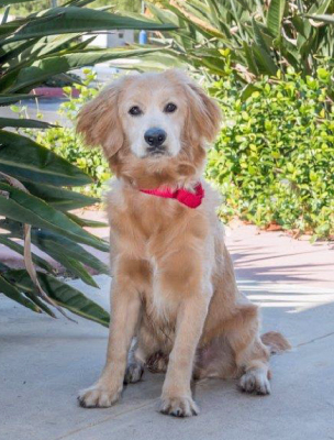 Fabian '17 - 1 yr old, male Golden mix