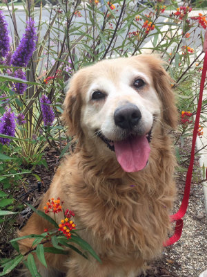 Adopt a Golden Retriever! GRCGLA Rescu