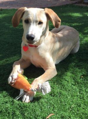 Arnie - 7-1/2 mo old male mixed breed