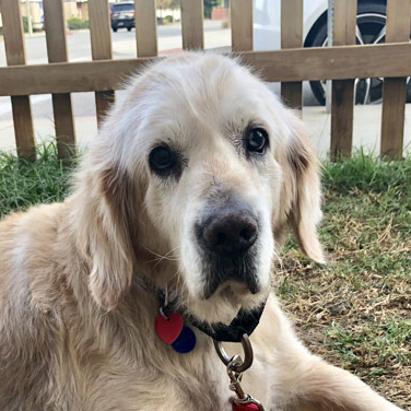 CiCi - 10 yr female Golden - MEDICAL HOLD