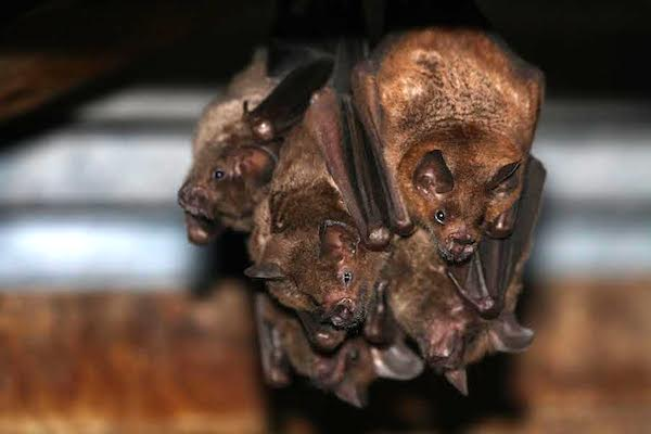 seba's short tailed fruit bats
