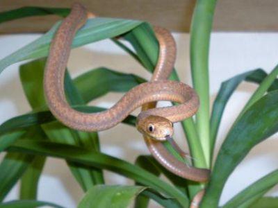 eastaAfrican egg eating snake