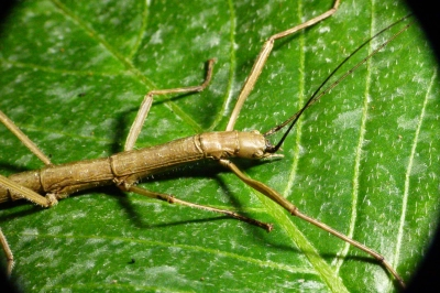 bornean budwing stick insect